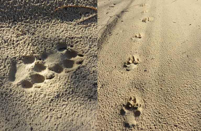 Dingos Fraser Island