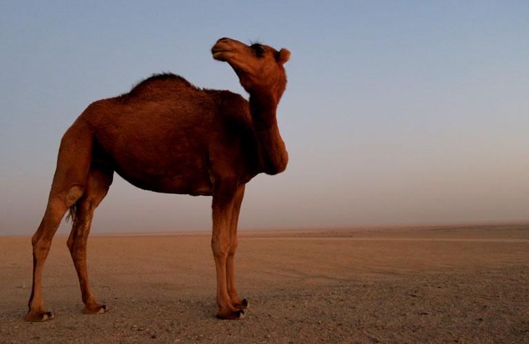 Iran Kashan Maranjab Desert Sonnenaufgang Kamele Visum Iran