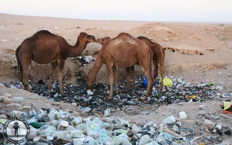 Kamele Maranjab Desert Iran Kashan Isfahan Desert Umweltverschmutzung