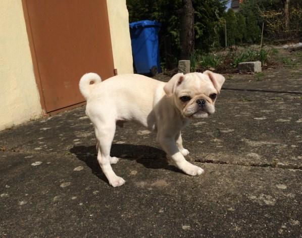 Cooper White Pug Weißer Mops Puppy welpe