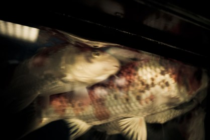 Japanese Koi fish for sale in an aquarium. Koi fish hold great symbolic meaning in Japanese culture, and are part of many traditional Yakuza tattoos - 2009
