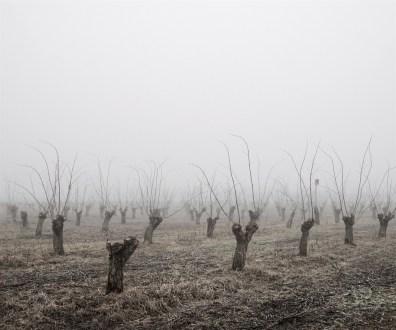 Locust Trees, North-East Hungary