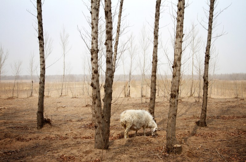 A sheep grazes on the edges of a forest in Inner Mongolia, in northern China. Large scale tree planting programmes have been lauded as the key to long-term forest recovery, however in dry regions in the north, limited water supply and inefficient forest management has led to many forests dying out.