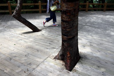 A tourist walks past trees in the Jiuzhaigou National Park. All of the pathways within the park are boarded so that little to no trampling occurs and damage to the forests is limited.