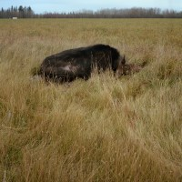 "A moose is seen dead on the side of highway 63 also know as the ""Highway to Hell"" because of its high number of deaths due to the volume of traffic from the Oil Sands industry."