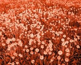 (Her beautiful field of flowers).