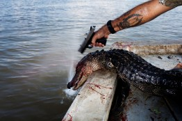 "Curtis ""Rebel"" Rageur plants a second bullet in the head of a gator that kept moving after being hauled into the boat while hunting for alligators near Shell Island, Louisiana on September 20, 2009. Each gator is then tagged before being piled in the bottom of the boat."
