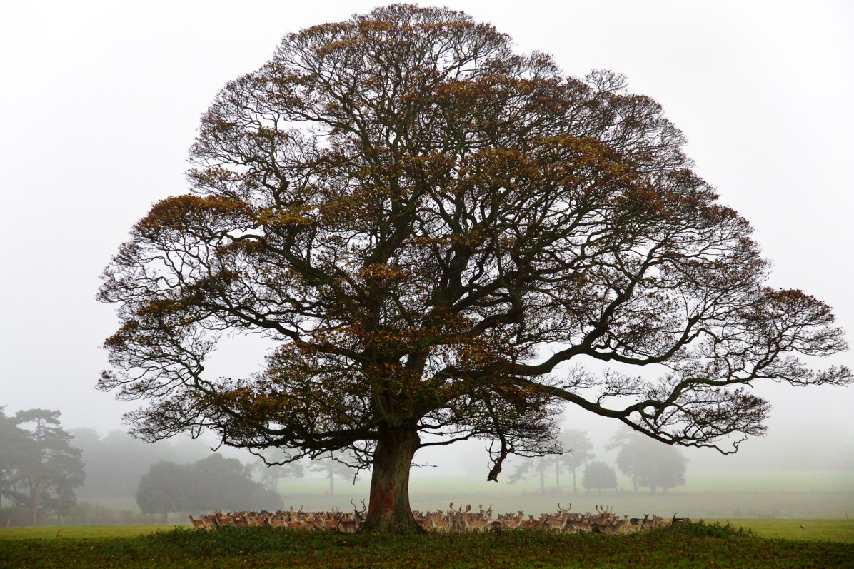 From the new book A Place in the Country. Holkham Estate. North Norfolk. Deer sheltering under a tree in the park