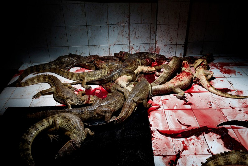 """Colombia, Puerto Giraldo, two hours from Barranquilla.Here within the so-called """"room of the sacrifice."""" The alligators are killed by a cut on her neck made by hand with a knife by a specific operator, this operator is used only to this task."""