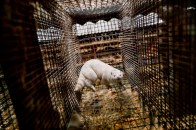 """Poland, Village of """"Biala Wies"""" close to Grodzisk Wlkp. Here inside the company """"Nutrex"""" one of the most important intensive breeding of minks in all Poland. Here a specimen of mink in its cage, where they spend their entire life."""