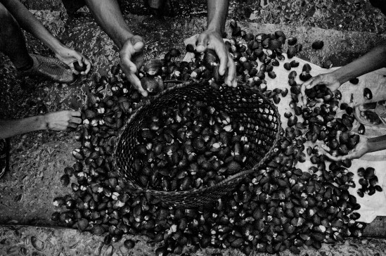 Even though black shells are a culinary delicacy in Ecuador, shell pickers are only paid 8 cents of a dollar per shell. On average, pickers will find between 50 and 100 shells in a day´s work. San Lorenzo, Ecuador. 2010.