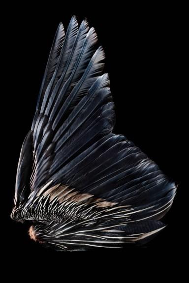 Golden Headed Quetzal (Pharomachus auriceps)