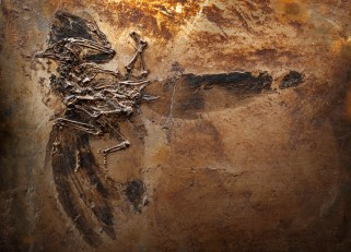 MUST GET PERMISSSION TO USE. gerald.myar@senckenberg.de. Eoglaucidium sp. Messel, 47 mya (middle Eocene)
