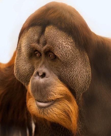 Orangutans at Fort Wayne Zoo. contact: Cheryl Piropato Education Director Fort Wayne Children's Zoo V 260.427.6803 F 260.427.6820 cheryl@kidszoo.org Visit the Fort Wayne Children's Zoo online at www.kidszoo.org