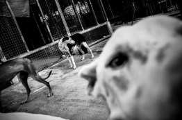Trabajo documental sobre maltrato de galgo en España después de la temporada de Caza.