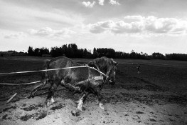 A farmer plows the field with his horse to plant potatos (the potatos are food for his pigs). Lithuania, near Pagėgiai, 11th of May 2016.