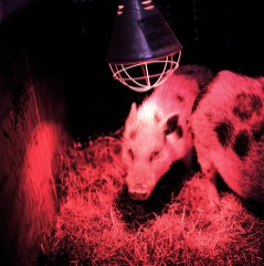 You do not want to know anything of my life under the red lights. Anyway, this is not Pigalle, or Reeperbahn. This is the red life of the livestock.