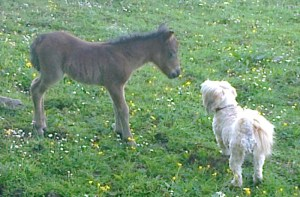 Megan's filly investigating Mini the shih tzu