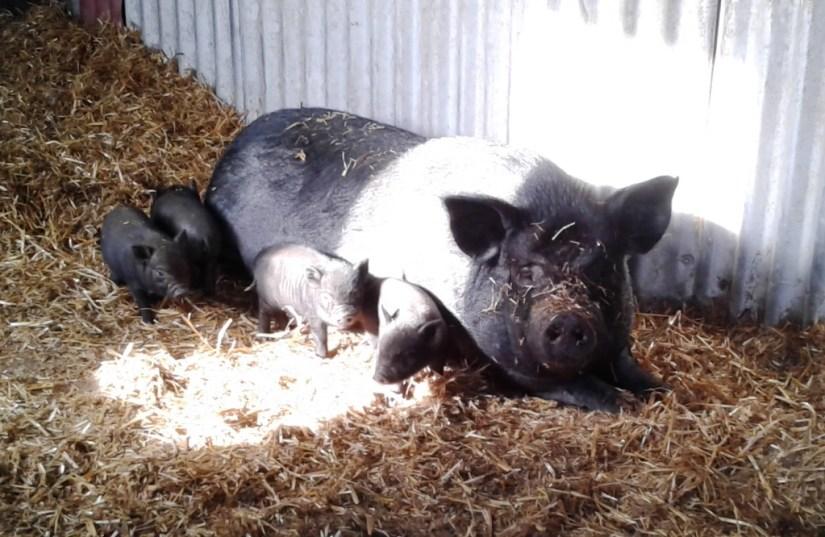 Doris & piglets sunbathing indoors 3-4-16