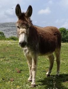 Flan the donkey