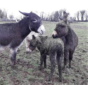 donkey foal covered in hay
