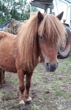 chestnut shetland pony