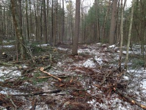 This shot of the tree thinning looking north is clear evidence of a forester and tree steward that know what they are doing.