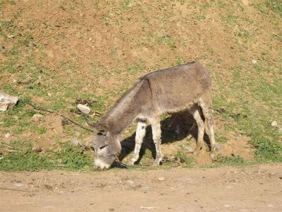 burro marruecos 4