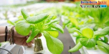 Suka Konsumsi Sayuran Organik, Yuk Terapkan Cara Hidroponik Yang Ramah Lingkungan di Rumah