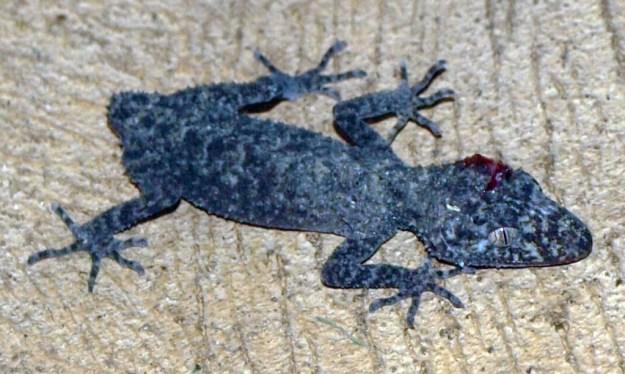 Injured Gecko c Dan Marshall