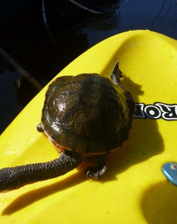 Eastern_Long_Necked_Turtle_1