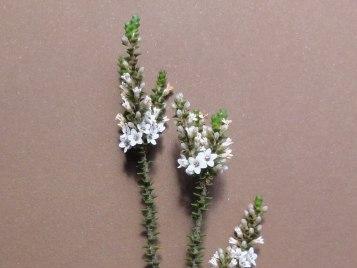 Epacris browniae