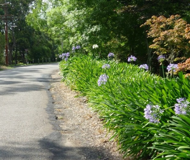 Agapanthus planted next to a roadedge