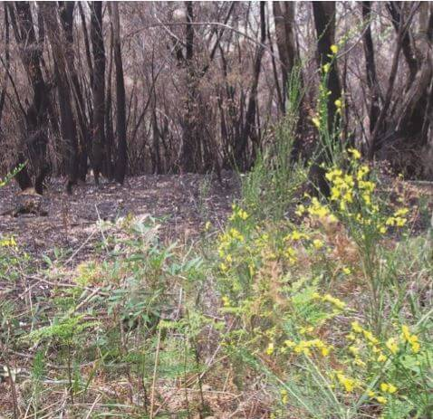 Scotch broom invading recently burnt bushland