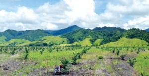 Planting oil palms at Ramu. © NBPOL
