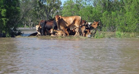 Cattle stranded due to flooding. Credit: Bob Hansen
