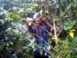 A farmer picking the coffee cherry