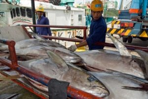 Taiwanese fishermen unload tuna for export from Palau. Credit: AFP