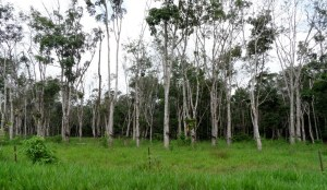 Koitaki Rubber Plantation in Central Province.