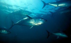 Nothern bluefin tuna swim in the Pacific Ocean. Photograph: Alamy