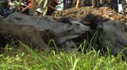 Cattle on the way to East Sepik. Credit: EMTV