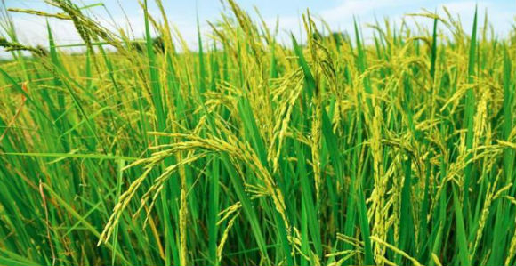 Rice policy may end our rice production in Papua New Guinea