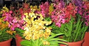 Papua New Guinea cut flowers offer great niche industry potential