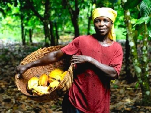 Farm gate prices for cocoa up by a record 30% in Cameroon