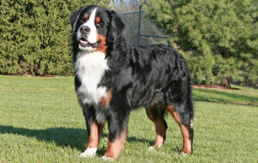 Barnese Mountain Dog