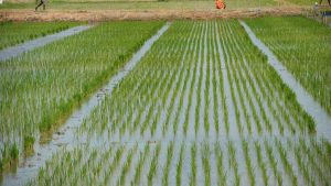 rice farming, processing, business plan