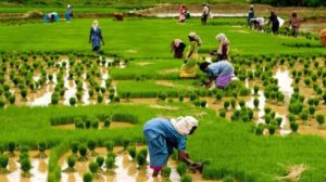 FG Lowers Prices of Fertilizer by 40% to Boost Economy