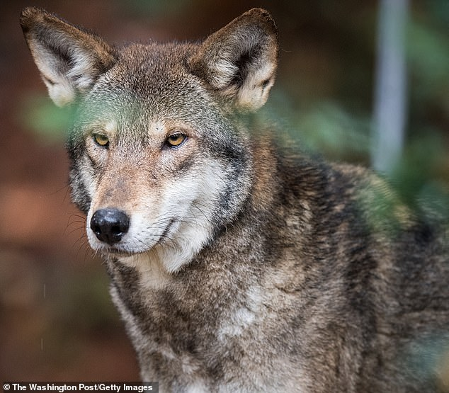 Wolves are dogs' closest undomesticated relative but have a more aggressive image due to their 'wild' nature. But scientists have shown that the theory dogs cooperate better with humans than wolves because of domestication may be nothing but a myth