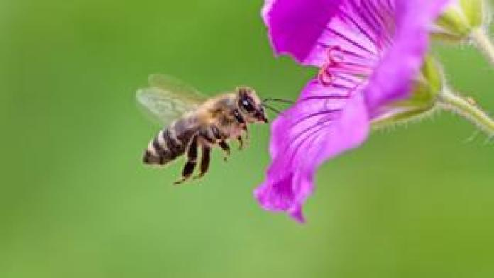 A honey bee flies towards a purple geranium flower blossom