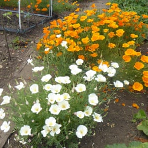 Poppies, Reading: from allotment callout 2019